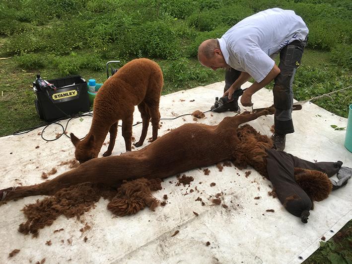 Scheerservice Alpaca America