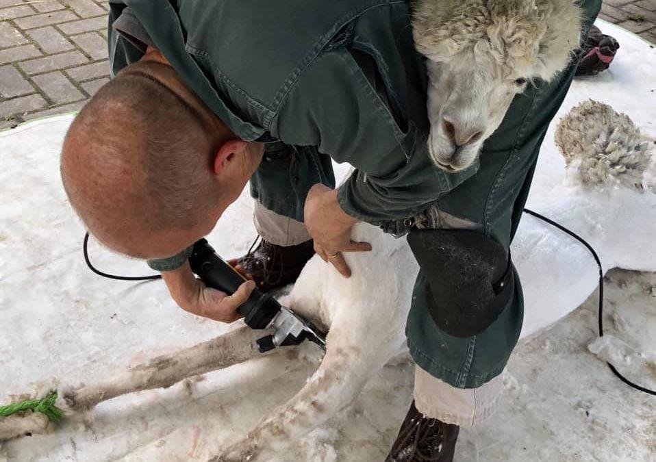 Covid19 en het scheren van uw alpaca's